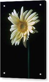Gerber Daisy Acrylic Print by Laurie Paci