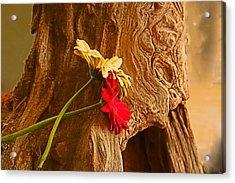 Gerber Daisy On Driftwod Acrylic Print