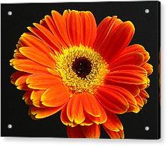Gerber Daisy Portrait Acrylic Print by Juergen Roth