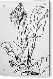 Gerber Study I Acrylic Print