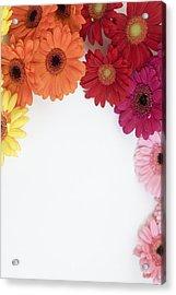 Gerbera Blooms Framed Acrylic Print