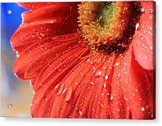 Gerbera Daisy After The Rain Acrylic Print