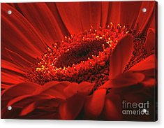 Acrylic Print featuring the photograph Gerbera Daisy In Red by Sharon Talson
