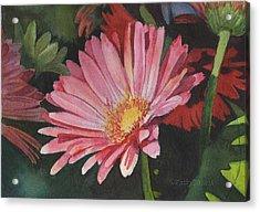 Gerbera Daisy Acrylic Print by Kathy Nesseth