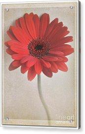 Acrylic Print featuring the photograph Gerbera Daisy by Lyn Randle