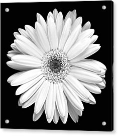 Single Gerbera Daisy Acrylic Print by Marilyn Hunt