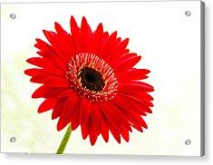 Gerbera Daisy Acrylic Print