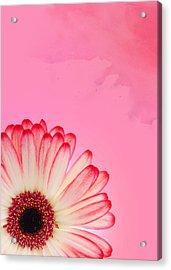 Gerbera Pink Acrylic Print by Mark Rogan
