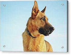 German Shepherd Acrylic Print by Cco