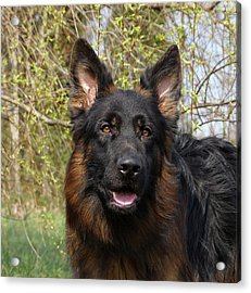 Acrylic Print featuring the photograph German Shepherd Close Up by Sandy Keeton