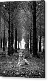 German Shepherd Dog Sitting Down In Woods Acrylic Print by Adam Hirons Photography