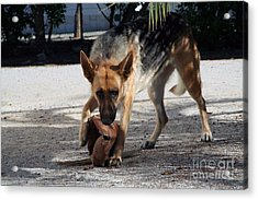German Shepherd Playing Acrylic Print by Andre Goncalves