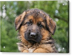 German Shepherd Puppy II Acrylic Print by Sandy Keeton