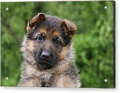 German Shepherd Puppy IIi Acrylic Print by Sandy Keeton