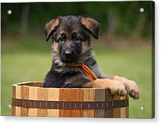 German Shepherd Puppy In Planter Acrylic Print