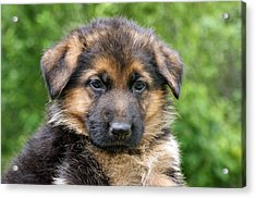 German Shepherd Puppy Acrylic Print by Sandy Keeton