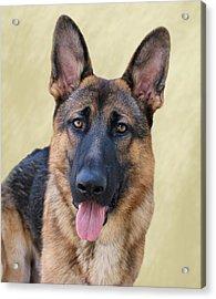 German Shepherd Acrylic Print by Sandy Keeton