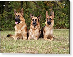 German Shepherds - Family Portrait Acrylic Print by Sandy Keeton