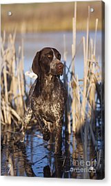 German Shorthair On Point -  D000897 Acrylic Print