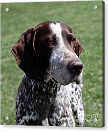 German Shorthaired Pointer  Acrylic Print by Steven Digman