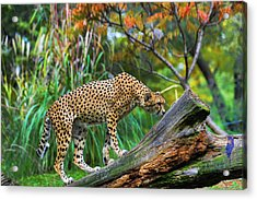 Getting The Scent Acrylic Print by Keith Lovejoy