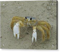 Ghost Crab - 1 Acrylic Print