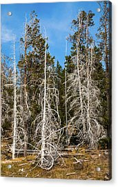 Acrylic Print featuring the photograph Ghost Pines At Yellowstone National Park by Lon Dittrick