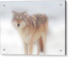 Ghost Wolf Acrylic Print