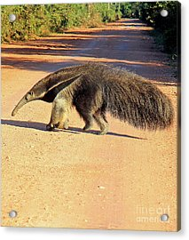 Giant Anteater Crosses The Transpantaneira Highway In Brazil Acrylic Print