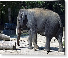 Giant Asian Elephant Acrylic Print by Brendan Reals