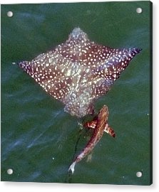 Giant Eagle Ray Acrylic Print by Bill Perry