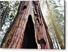 Giant Forest Giant Sequoia Acrylic Print