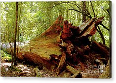 Giant Has Lived Its Life Acrylic Print