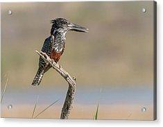 Giant Kingfisher Acrylic Print