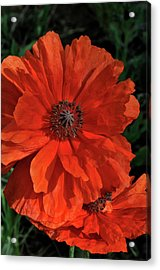 Giant Mountain Poppy Acrylic Print