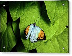 Acrylic Print featuring the photograph Giant Orange Tip Butterfly by Tom Mc Nemar