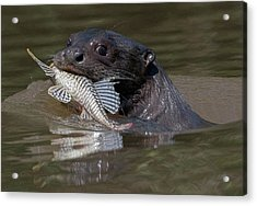 Acrylic Print featuring the photograph Giant Otter #1 by Wade Aiken