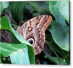 Giant Owl Butterfly Acrylic Print