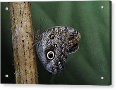 Giant Owl Butterfly On Screw Pine Acrylic Print