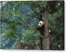 Giant Panda Ailuropoda Melanoleuca Acrylic Print by Cyril Ruoso