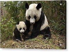 Acrylic Print featuring the photograph Giant Panda Ailuropoda Melanoleuca by Katherine Feng