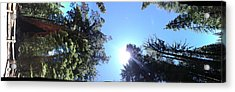 Giant Redwood Acrylic Print by Beverly Johnson