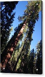 Giant Redwood Trees Acrylic Print by Jeff Lowe