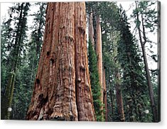 Acrylic Print featuring the photograph Giant Sequoia II by Kyle Hanson