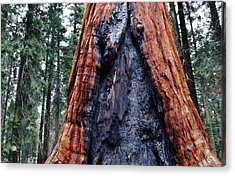 Acrylic Print featuring the photograph Giant Sequoia by Kyle Hanson