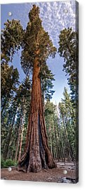 Giant Sequoia Acrylic Print by Phil Abrams