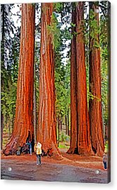 Giant Sequoias Acrylic Print by Dennis Cox