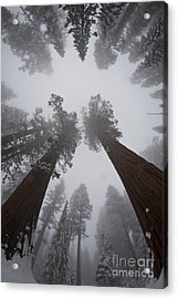 Giant Sequoias Acrylic Print by Gregory G. Dimijian, M.D.