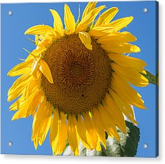 Giant Sunflower Blue Sky Acrylic Print