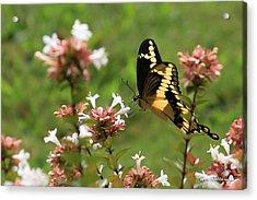 Giant Swallowtail Butterfly 2 Acrylic Print by Reid Callaway